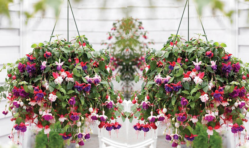 Fuchsia is Another Beautiful Hanging Baskets Flower