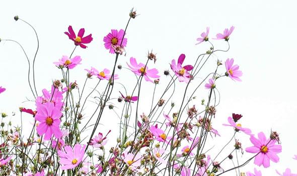Garden Cosmos FLOWER