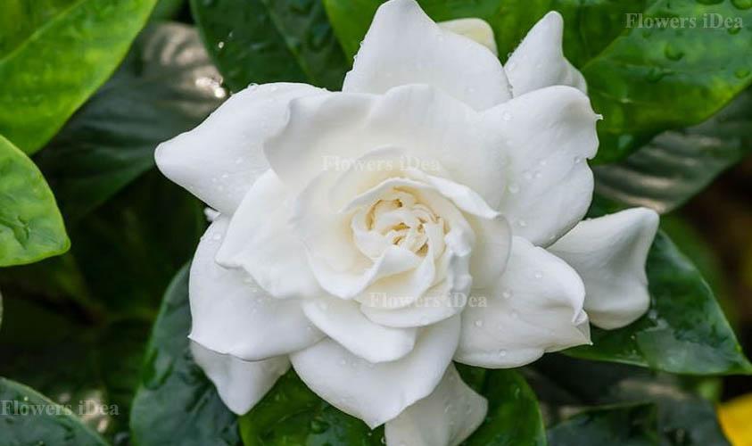 Gardenia Augusta Flower