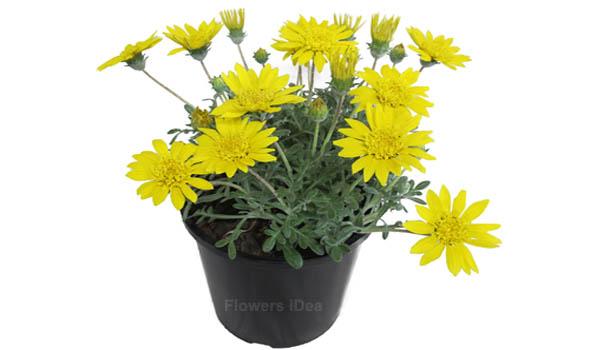 Gazania Hybrids Flower