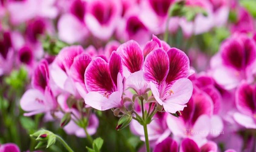 Geraniums Smallest Flowers