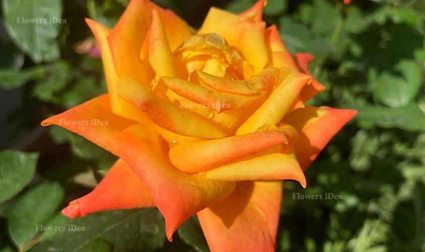 Gold Medal Flower