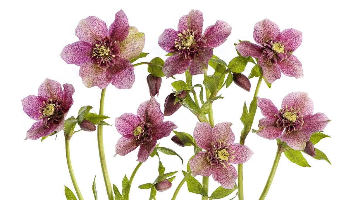 Hellebore Flowers Bloom in Spring