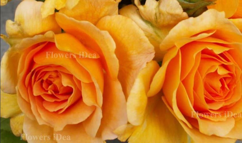 Honey Perfume Fragrant Roses