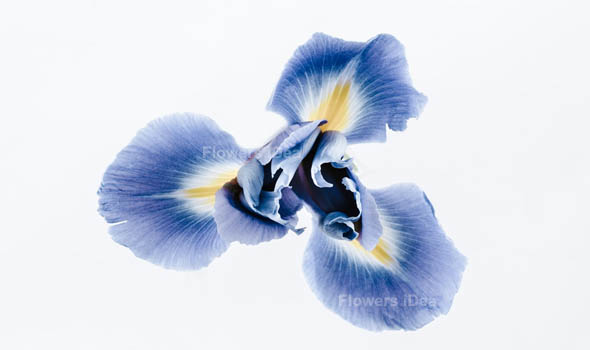 Irises Beautiful Flowers