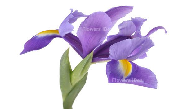 Irises flower