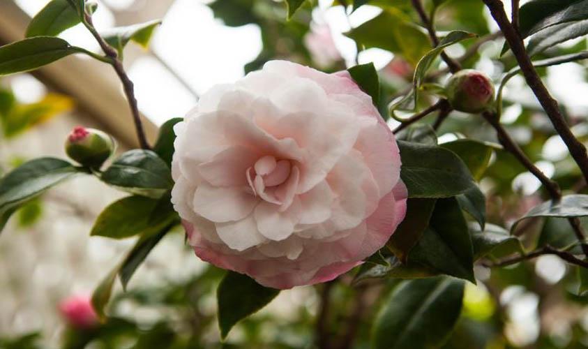 Japanese Camellias Flower