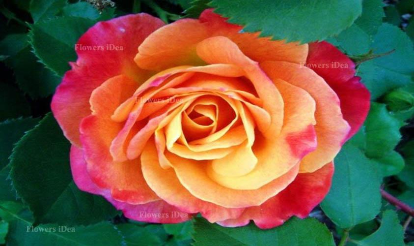 Josephs Coat Rose Flower