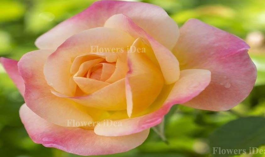 Julia Child Fragrant Roses