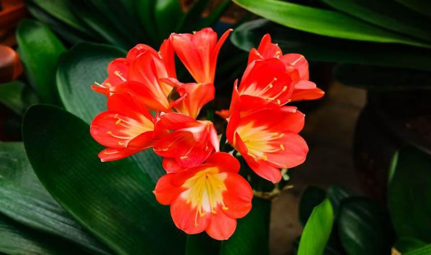 Kaffir Lily Flower