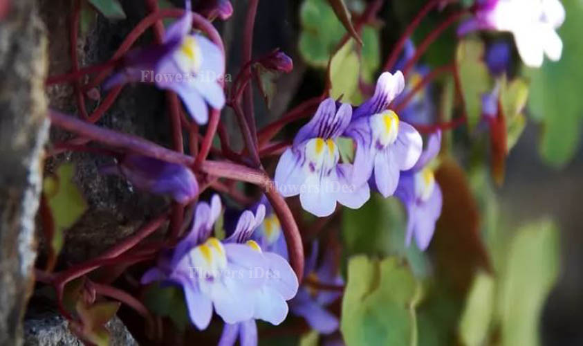 Kenilworth Ivy Smallest Flowers
