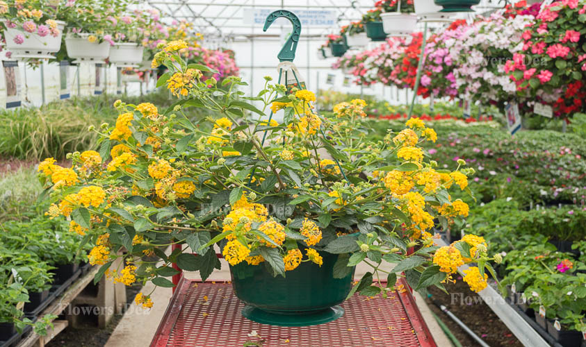 Lantana is Another Beautiful Hanging Baskets Flower