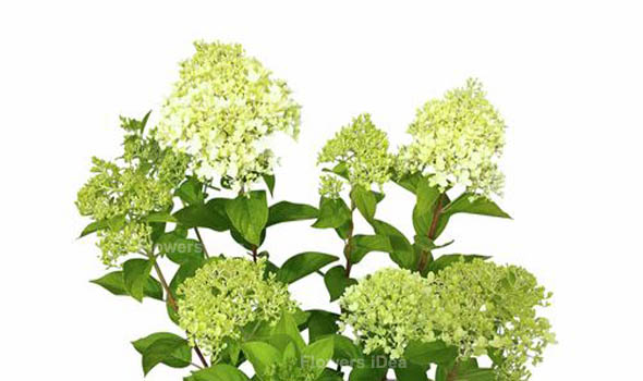 Limelight Hydrangeas Flowers Bloom in Summer