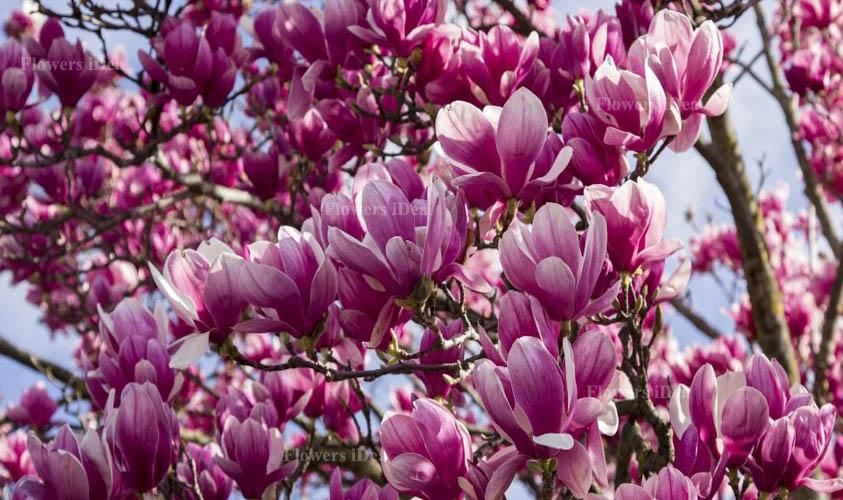 Magnolia Beautiful Flowers
