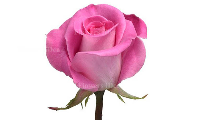 Medium pink Color of Roses
