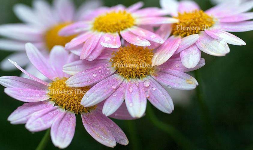 Michaelmas Daisy Flowers Bloom in Fall