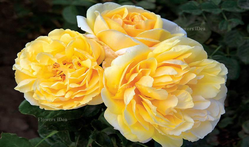Michelangelo Rose Flower