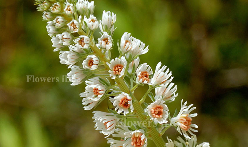 Mignonette Flower