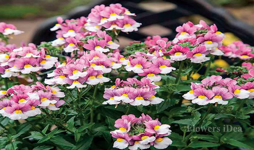 Nemesia Caerulea Flower