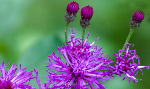 New York Ironweed Flowers Bloom in Fall