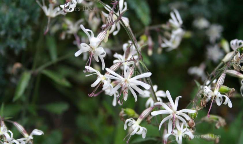 Nottingham Catchfly Flowers