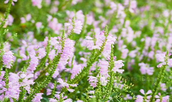 Obedient Plant Flowers Bloom in Fall