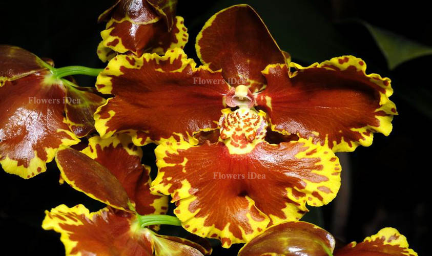 Oncidium Forbesii Orchids Flower