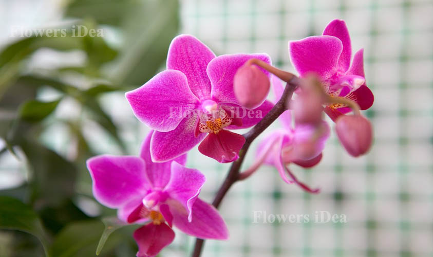 Orchid Beautiful Flowers
