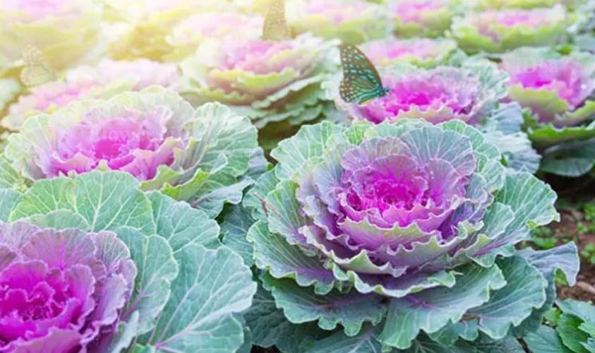 Ornamental Cabbage and Kale Flowers