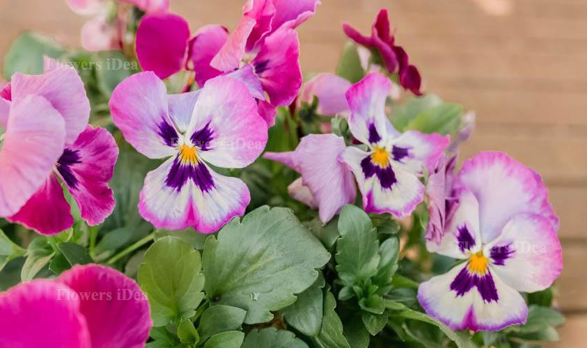 Pansies Smallest Flowers