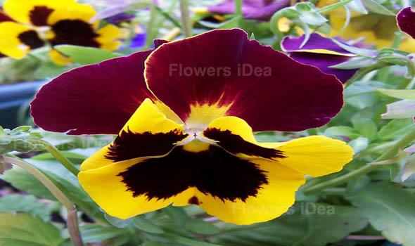 Pansy Flowers Bloom in Spring