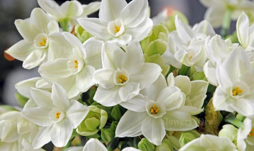 Paperwhites Flowers for Christmas