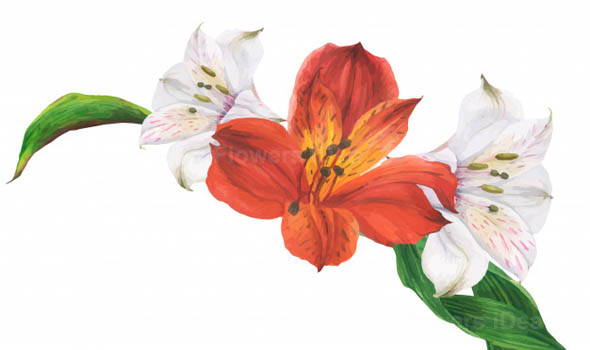 Peruvian Lily Flowers Bloom in Fall