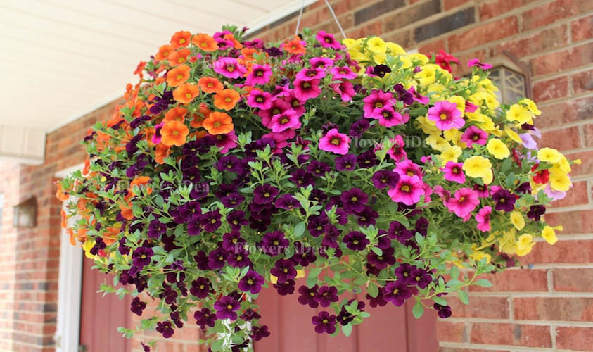 Petunia is Another Beautiful Hanging Baskets Flower