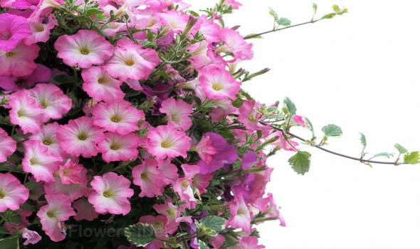 Petunias flower