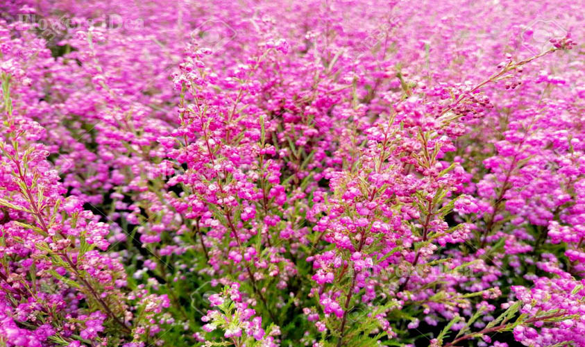 Pink Heath Flower