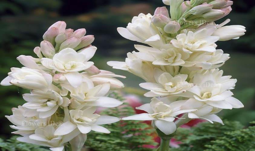 Polianthes Tuberosa Flower