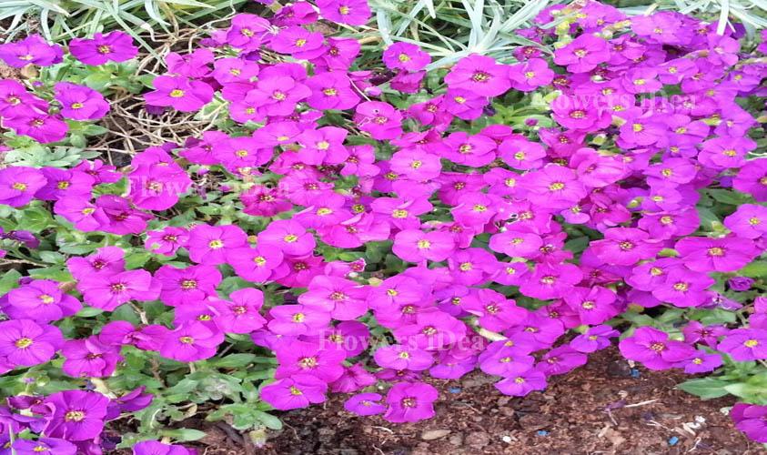 Purple Rock Cress Flower
