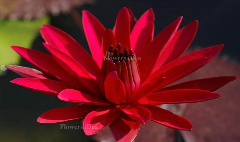 Red Flare Water Lily Flower