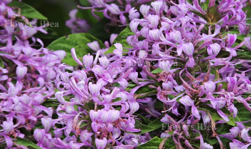 Ribbon Bush Flower