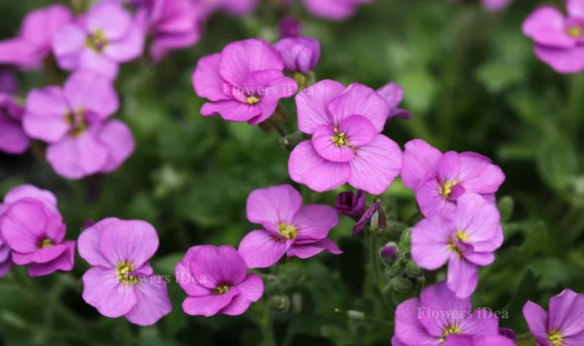 Rock Cress Smallest Flowers