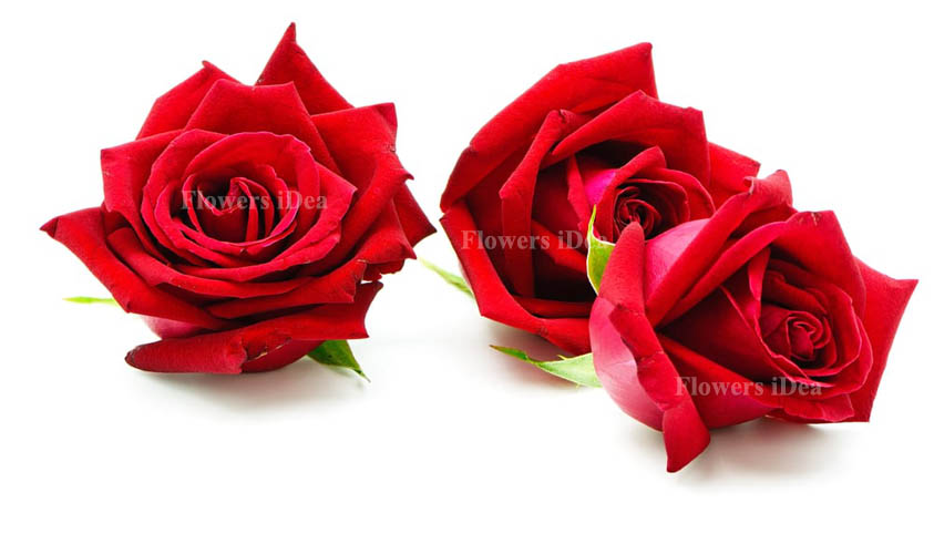 Red Roses Flowers for Christmas