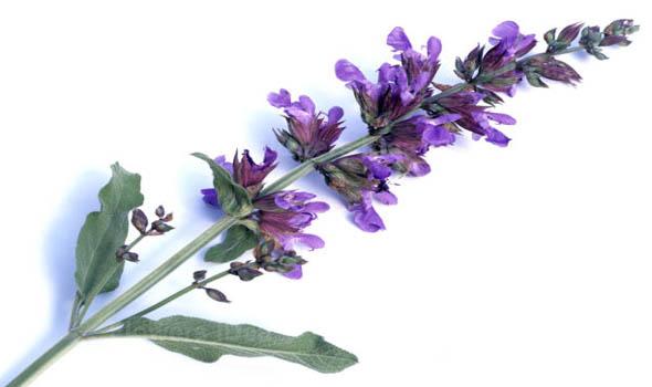 Salvia Flowers Bloom in Summer