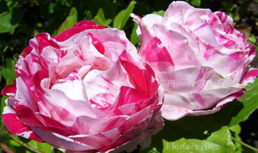 Scentimental Fragrant Roses