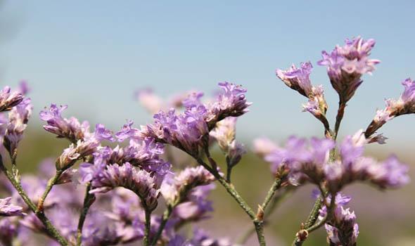 Sea Lavender Flowers Bloom in Fall