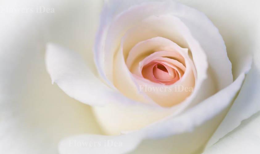Secret's Out Fragrant Roses
