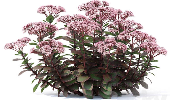 Stonecrop Flowers Bloom in Fall