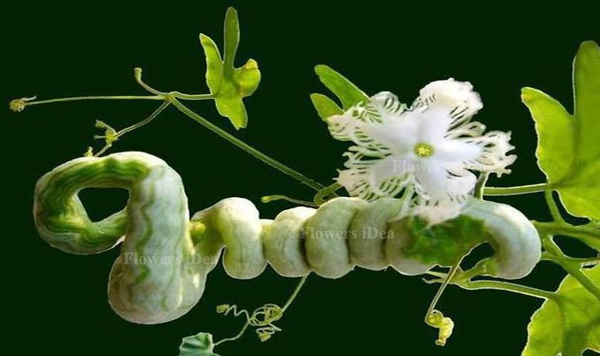 Snake Gourd Flower is Strange Looking Flower
