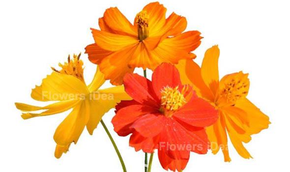 Sulfur Cosmos flower