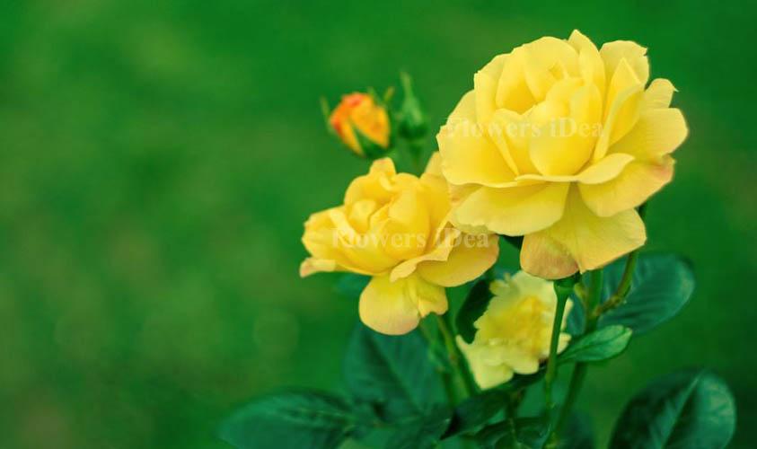 Sun Sprinkles Fragrant Roses